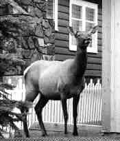 UNWANTED GUEST: Elk.