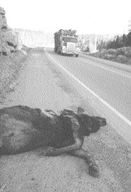 CAUTION: Moose and transport trucks don't mix well, as this unlucky one recently found out.