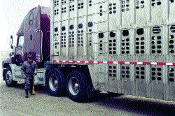 STILL HURTING: Western Canadian cattle haulers continue to struggle as 2005 rolls around.