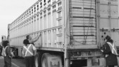 EVERYTHING ALRIGHT IN THERE?: CFIA inspectors join truck enforcement officers at roadside to ensure livestock is being properly transported.