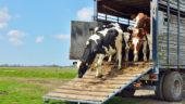 Livestock Transport Regulation
